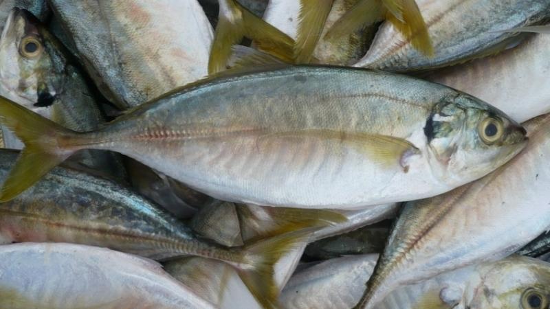Not hard Yakka to eat bait?